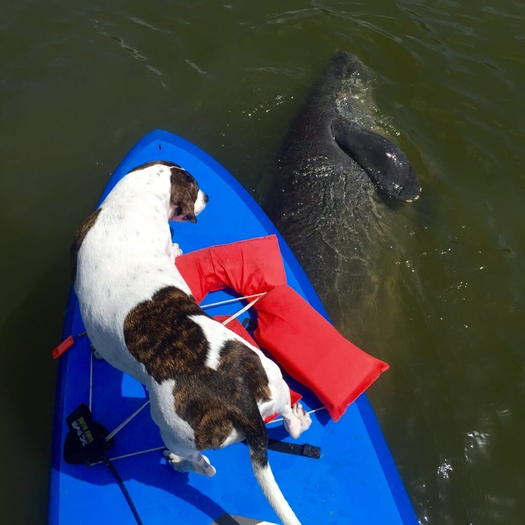 Manatee Dolphin Experience on SoBe Surf Paddle Board Tour Kayak Tour Nature Tour