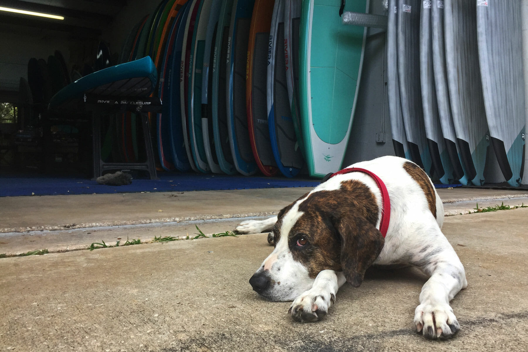 Meet Kona Stand Up Paddle Dog Sobe Surf And Paddle